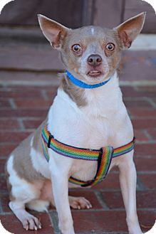 Chihuahua/Fox Terrier (Smooth) Mix Dog for adoption in Greensboro, Maryland - George