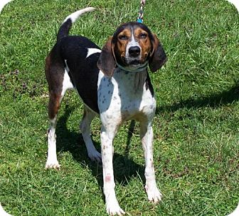 Coonhound Dog for adoption in Batavia, Ohio - Tessa