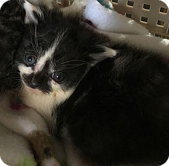 Domestic Shorthair Kitten for adoption in Wayne, New Jersey - Bolton