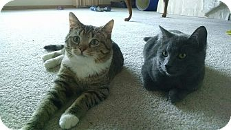 Domestic Shorthair Cat for adoption in Orland Park, Illinois - Tiger