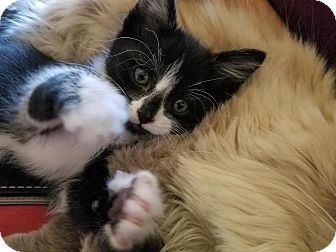 Domestic Shorthair Kitten for adoption in Alamo, California - Mufasumi