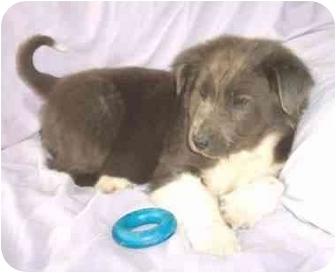 Old English Sheepdog/Border Collie Mix Puppy for adoption in McArthur, Ohio - Doulton