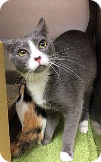 Domestic Shorthair Cat for adoption in Lake Elsinore, California - DaVinci