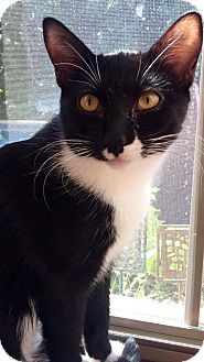 Domestic Shorthair Cat for adoption in Edmond, Oklahoma - John Gotti