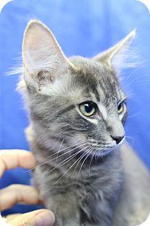 Maine Coon Kitten for adoption in Winston-Salem, North Carolina - Carlos