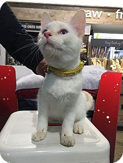 Domestic Shorthair Cat for adoption in Warren, Michigan - Chris