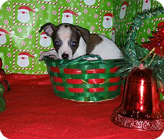 Chihuahua Mix Puppy for adoption in Houston, Texas - ABBY