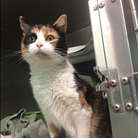 Domestic Shorthair Cat for adoption in Port Clinton, Ohio - Callie