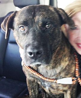 Pit Bull Terrier/Labrador Retriever Mix Dog for adoption in Dallas, Texas - Boscoe