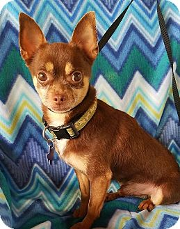 Chihuahua Mix Dog for adoption in Allentown, Pennsylvania - Christian