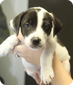 Border Collie/Mixed Breed (Medium) Mix Puppy for adoption in West Caldwell, New Jersey - Clancey