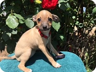 Chihuahua/Terrier (Unknown Type, Small) Mix Puppy for adoption in Elk Grove, California - STACI