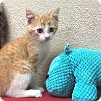 Adopt A Pet :: Boots - Grapevine, TX