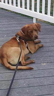 Labrador Retriever/Chesapeake Bay Retriever Mix Dog for adoption in Gainesville, Virginia - Elliott