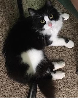 Domestic Longhair Cat for adoption in Greensboro, North Carolina - Lilly and Louie