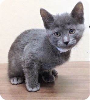 Domestic Shorthair Kitten for adoption in Shorewood, Illinois - ADOPTED!!!   Lena