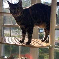 Domestic Shorthair/Domestic Shorthair Mix Cat for adoption in Peace Dale, Rhode Island - Taylor
