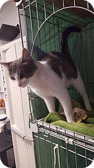 Domestic Shorthair Cat for adoption in Phoenix, Arizona - EVEREST
