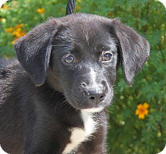 Labrador Retriever Mix Puppy for adoption in Marietta, Ohio - Chaquita (Foster To Adopt)