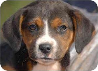 Beagle Mix Puppy for adoption in Inman, South Carolina - Bender