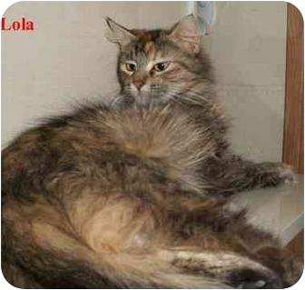 Domestic Mediumhair Cat for adoption in Slidell, Louisiana - Lola