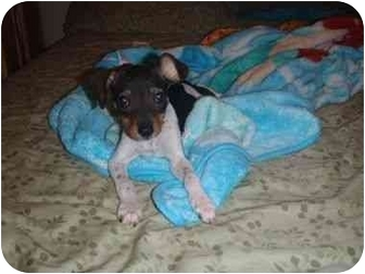 Rat Terrier/Chihuahua Mix Puppy for adoption in Arlington, Texas - Aspen