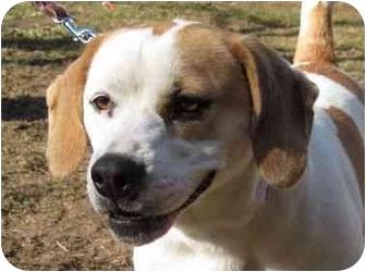 Beagle Mix Dog for adoption in Livonia, Michigan - Suzie