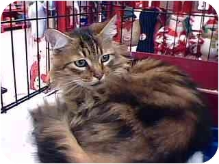 Maine Coon Cat for adoption in Tracy, California - Fluffy