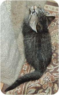 Domestic Shorthair Kitten for adoption in Westfield, Massachusetts - Tiger Kittens