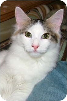 Maine Coon Cat for adoption in Chattanooga, Tennessee - Ethan