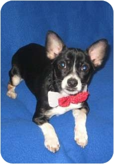 Boston Terrier/Chihuahua Mix Puppy for adoption in Easton, Illinois - Beckett