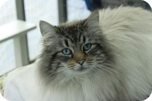 Himalayan Cat for adoption in Maple Ridge, British Columbia - Marlowe