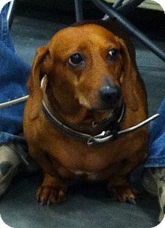 Dachshund Dog for adoption in Loudonville, New York - Greta