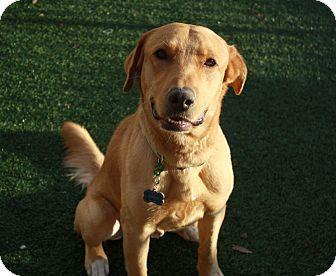 Golden Retriever/Labrador Retriever Mix Dog for adoption in Phoenix, Arizona - Bogey