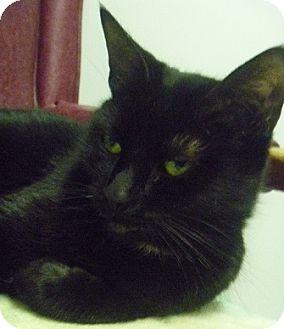 Domestic Shorthair Cat for adoption in Hamburg, New York - Destiny