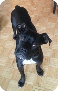 Bulldog/Boxer Mix Dog for adoption in Hamilton, Ontario - Yoda