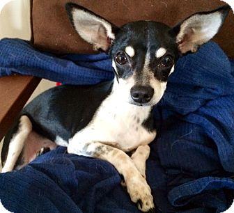 Chihuahua Mix Dog for adoption in San Diego, California - Gisele