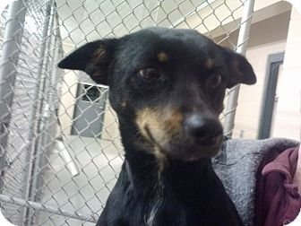 Rat Terrier Mix Dog for adoption in Bowie, Texas - Cookie