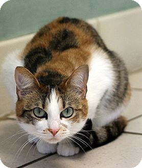 Domestic Shorthair Cat for adoption in Flower Mound, Texas - Dharma