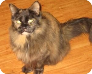 Domestic Mediumhair Cat for adoption in Tracy, California - Zoey