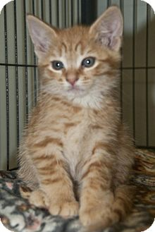 Domestic Shorthair Kitten for adoption in Wayne, New Jersey - Angus