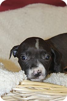 Boxer Mix Puppy for adoption in Waldorf, Maryland - Eliza