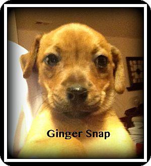 Shih Tzu Mix Puppy for adoption in Indian Trail, North Carolina - Gingersnap