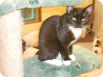 Domestic Shorthair Kitten for adoption in Morgantown, West Virginia - Pocus