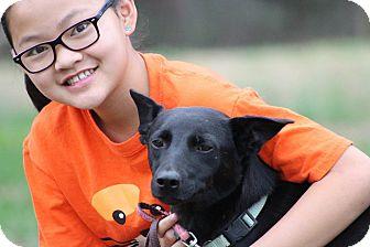 German Shepherd Dog Mix Dog for adoption in Portland, Maine - Shadow (Cat Friendly)