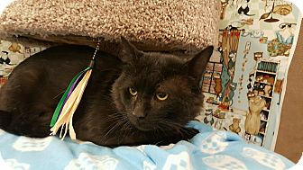 Domestic Shorthair Cat for adoption in Palmdale, California - Keegan