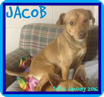 Dachshund/Chihuahua Mix Dog for adoption in Manchester, New Hampshire - JACOB