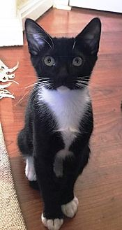 Domestic Shorthair Kitten for adoption in Orange, California - PeeWee