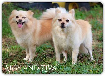 Pomeranian Mix Dog for adoption in DeForest, Wisconsin - Abby and Ziva