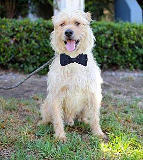 Labrador Retriever/Wheaten Terrier Mix Dog for adoption in San Diego, California - Niccolo